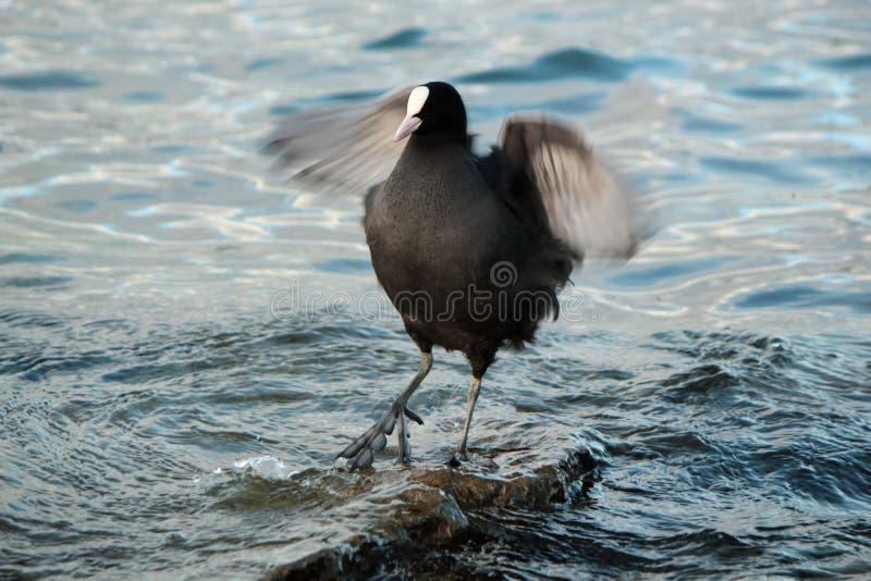 震动翼的老傻瓜鸭子 库存照片