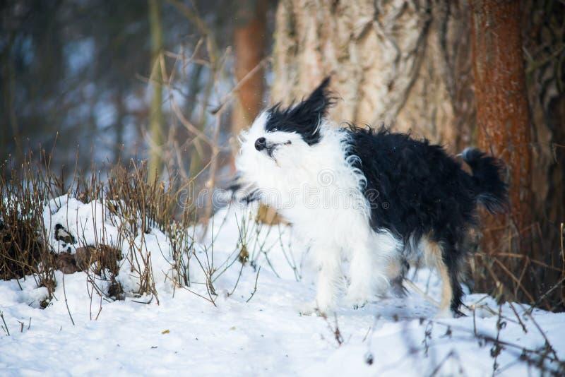 震动雪的滑稽的黑白中国有顶饰狗在一冬天好日子 库存照片