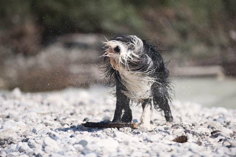 震动水的有胡子的大牧羊犬 免版税库存图片