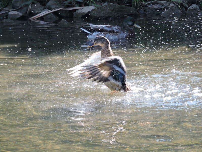 震动水的鸭子 库存图片