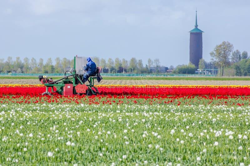 震惊,与农厂压头机的充满活力的郁金香领域有塔的在背景中 图库摄影