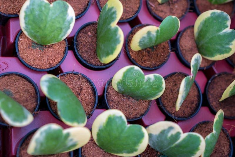 霍亚晨曲的Kerri和albomarginata,美丽的绿色植物 免版税库存图片