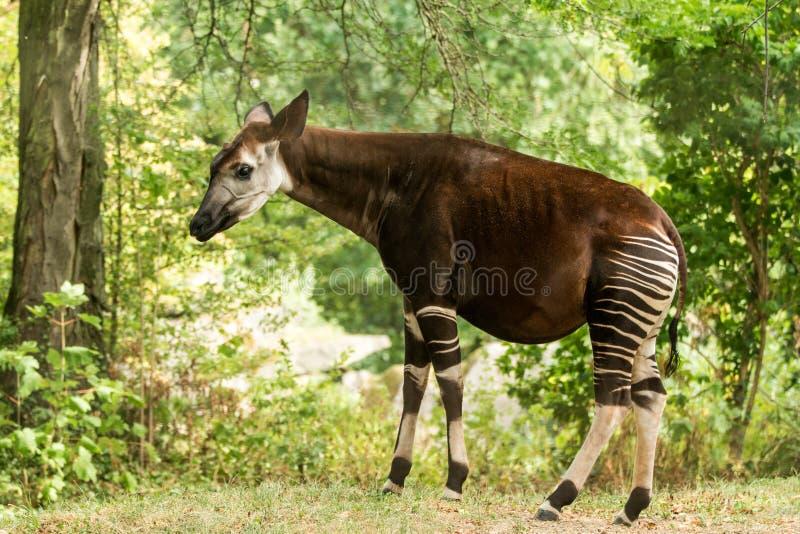 霍加披Okapia johnstoni、森林长颈鹿或者斑马长颈鹿、偶蹄动物的哺乳动物的当地人密林的或热带森林,刚果,非洲 图库摄影