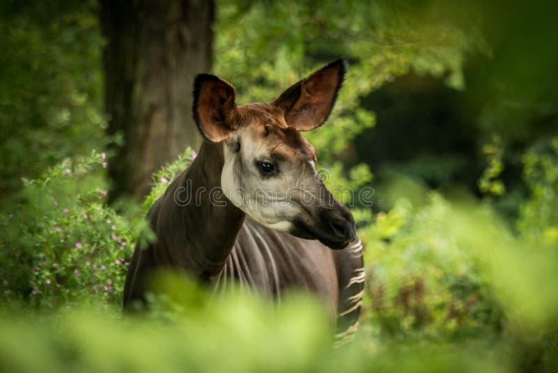 霍加披Okapia johnstoni、森林长颈鹿或者斑马长颈鹿、偶蹄动物的哺乳动物的当地人密林的或热带森林,刚果,非洲 免版税库存图片