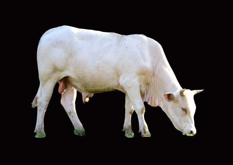 霍尔斯坦母牛,5岁,站立在背景前面 免版税库存照片