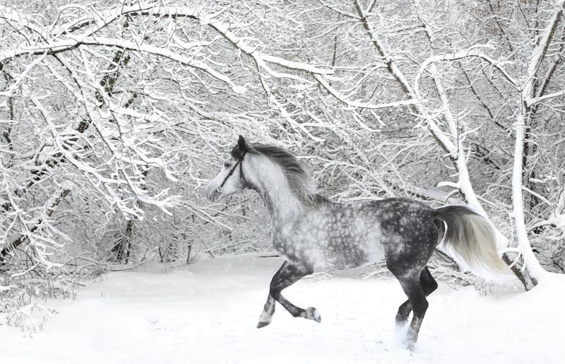霍尔斯坦驯马马起斑纹与辔的灰色 免版税库存照片