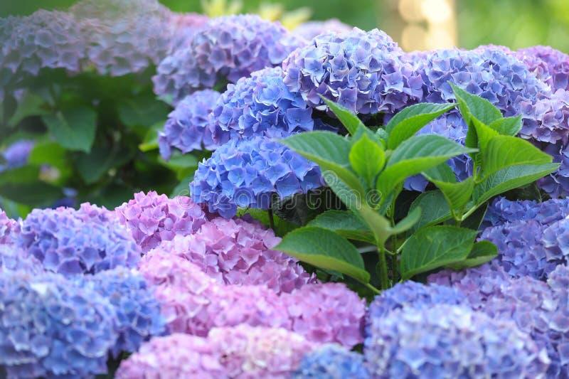 霍滕西亚八仙花属 免版税库存照片