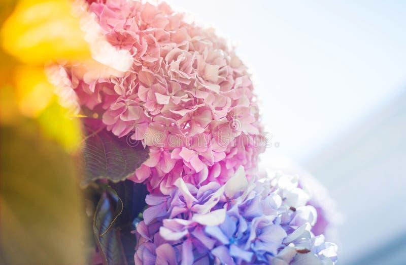 霍滕西亚花,八仙花属花,背景 库存照片