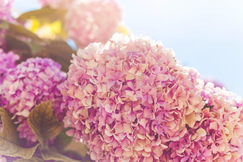 霍滕西亚花,八仙花属花,背景 库存图片