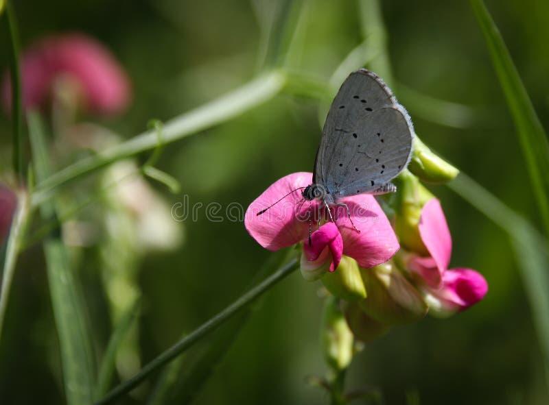 霍莉蓝色,Celastrina argiolus蝴蝶 免版税图库摄影