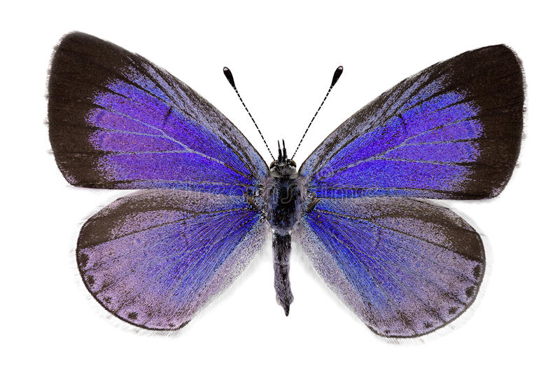 霍莉蓝色(Celastrina argiolus),女性 免版税库存照片