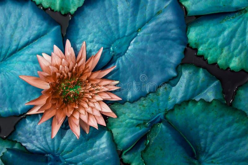 霓虹大海百合叶子,老玫瑰色的莲花背景墙纸 免版税库存图片