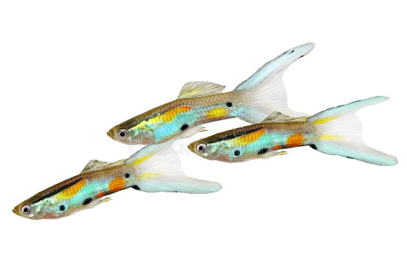 霓虹Endler色彩艳丽的胎生小鱼双Swordtail男性色彩艳丽的胎生小鱼Poecilia wingei五颜六色的热带水族馆鱼群  库存图片