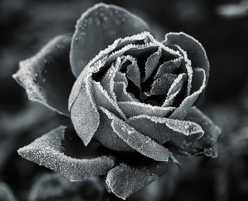 霜灰白上升了下 图库摄影