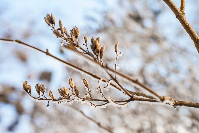 结霜的干燥丁香枝杈 库存图片