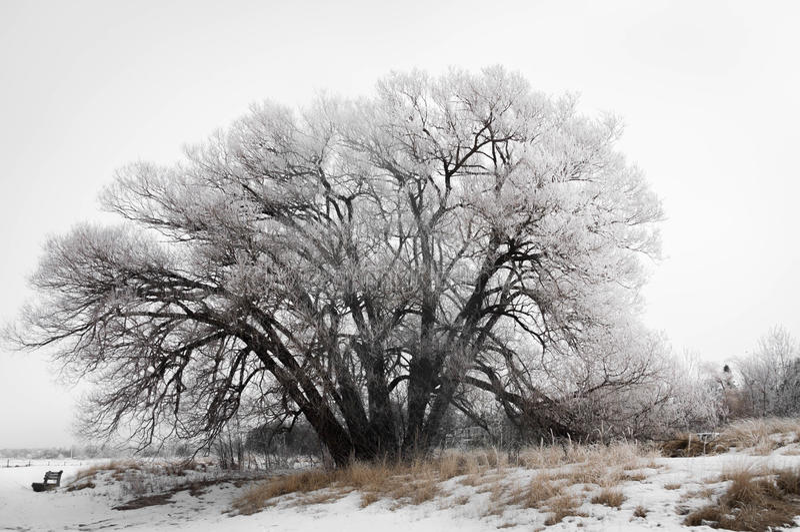 结霜的柳树 免版税库存图片