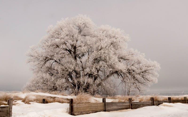 结霜的柳树 库存照片