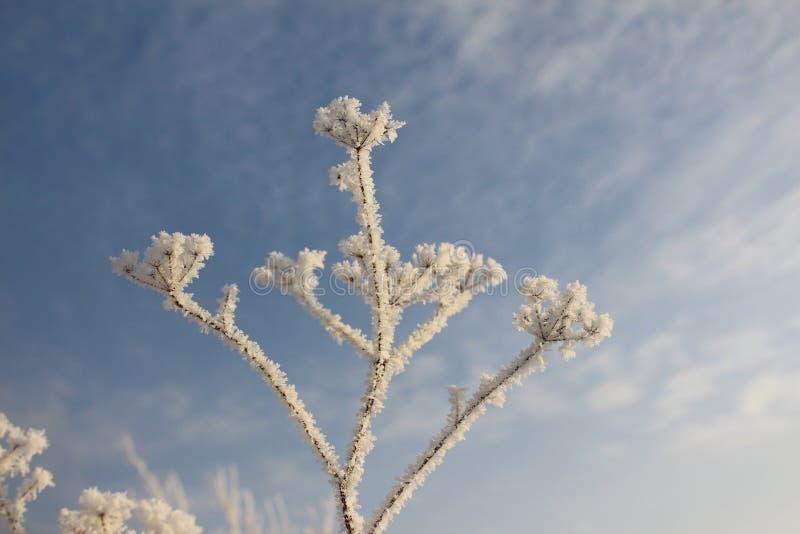 霜的植物在蓝天背景  免版税库存照片