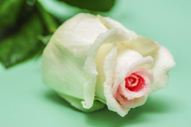 结霜的白玫瑰 库存图片