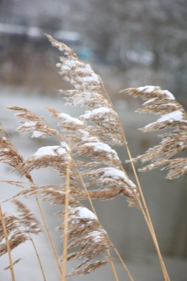 结霜的芦苇草 免版税库存图片