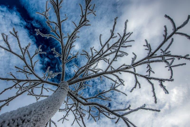 结霜的结构树 免版税库存照片