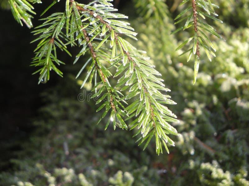 结霜的pinetree 库存图片