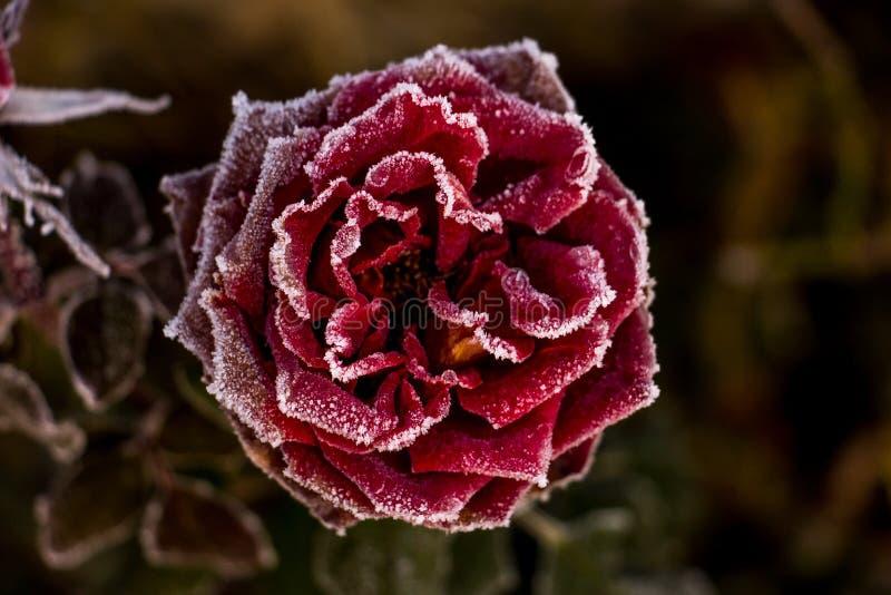 霜冻结的红色玫瑰白色 免版税库存图片