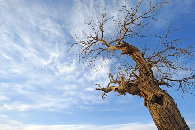 露出杨属euphratica结构树 免版税库存图片
