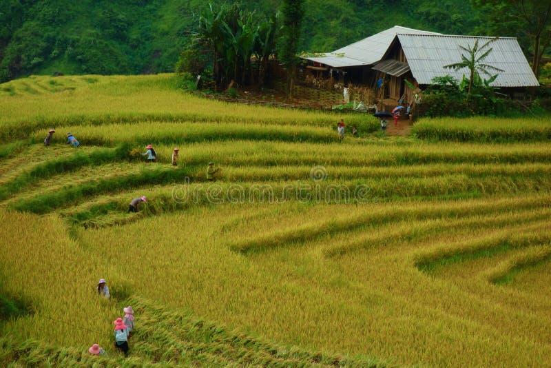 露台的米在收获季节, Muong Hoa谷, Sappa,北越南调遣 免版税库存照片