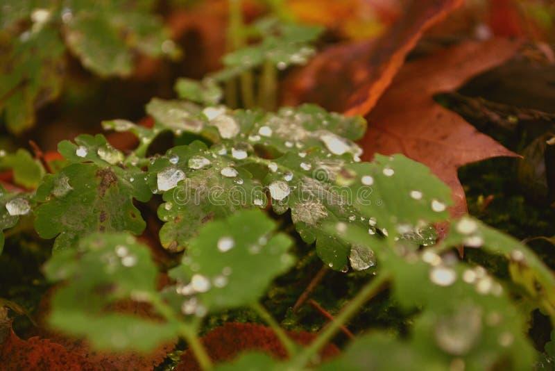 露水下落在叶子的在离开的森林 免版税库存图片