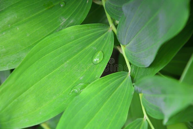 露水下落在叶子的早晨有阳光的 绿色植物叶子特写镜头  在叶子的水下落 关闭在叶子的水下落 免版税库存照片