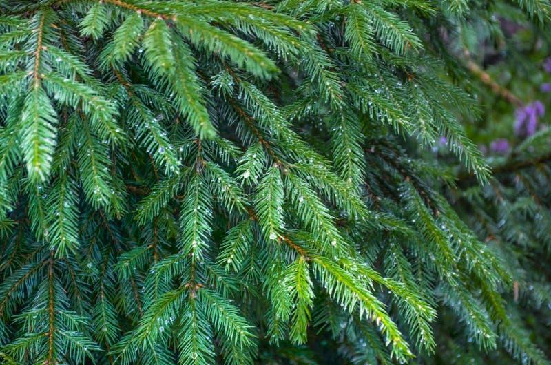 露水和雨水滴在云杉 免版税库存图片