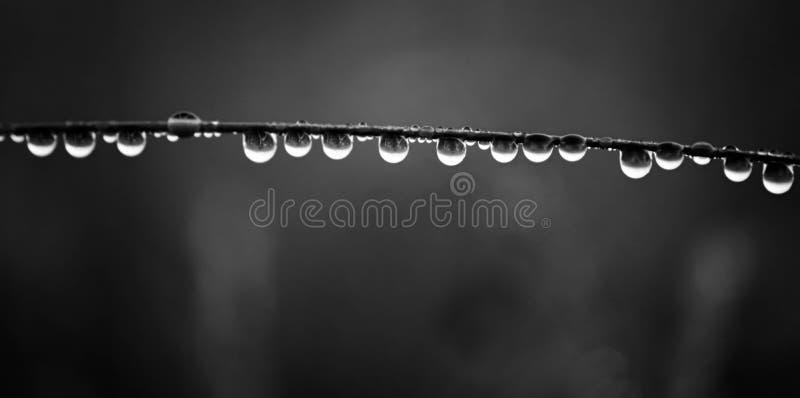 露水大下落在草特写镜头的在日出期间的早晨 黑白色照片 免版税库存照片