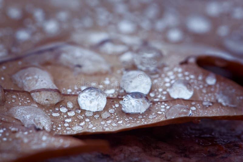 露水宏指令下落秋天的生叶 雨,澳大利亚背景  免版税库存图片