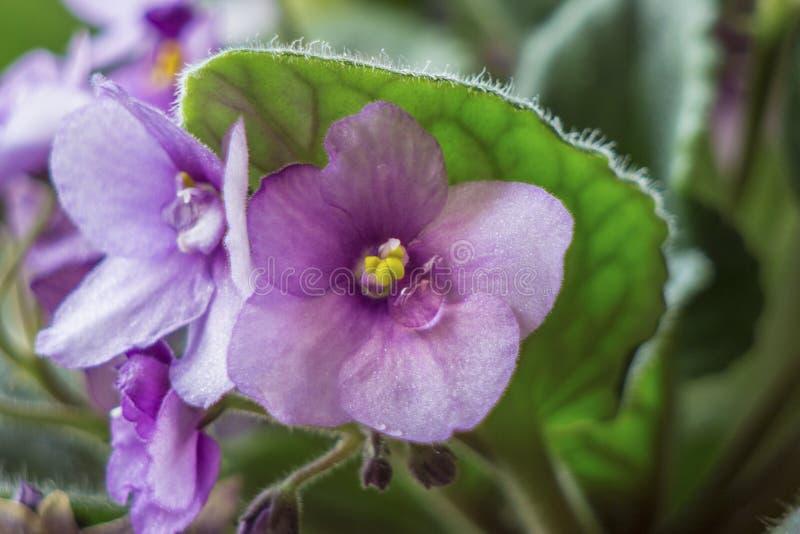 露滴接近的射击在紫罗兰色瓣的 库存图片