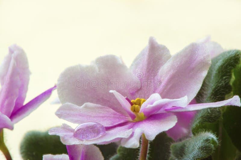 露滴接近的射击在紫罗兰色瓣的 免版税库存图片