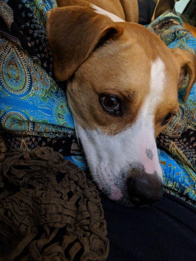 露西我知道的最甜的狗 免版税库存图片