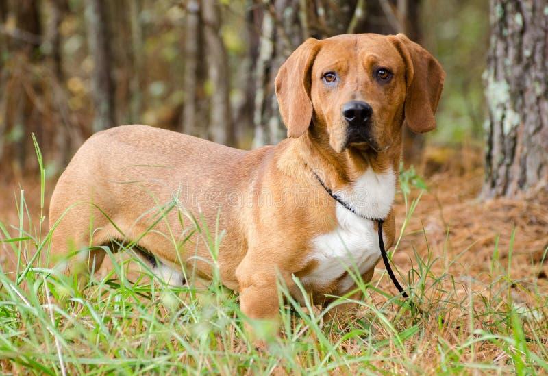 露头小猎犬被混合的品种猎犬