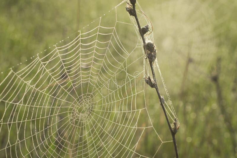 露水早晨蜘蛛网 库存照片