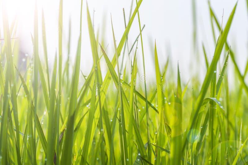露滴背景在鲜绿色的草的 库存图片