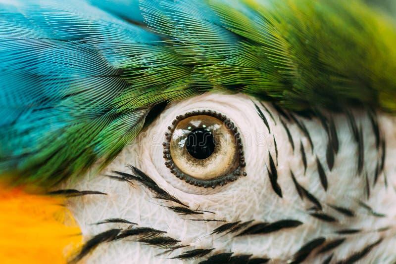 青和黄色金刚鹦鹉的亦称眼睛青和金子金刚鹦鹉在动物园里 库存图片