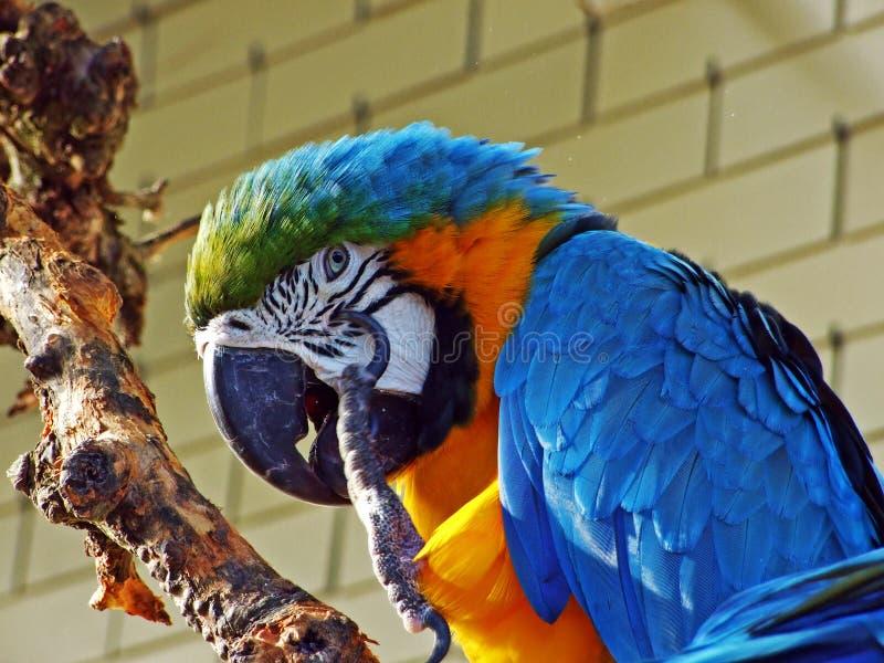 青和黄色金刚鹦鹉Ara ararauna、亦称青和金子金刚鹦鹉或者范德默韦Gelbbrustara,Abenteurland瓦特动物园 免版税库存照片