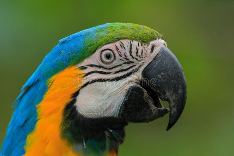 青和黄色金刚鹦鹉、Ara ararauna、一只大南美鹦鹉与蓝色顶部和黄色画象在零件下 免版税图库摄影