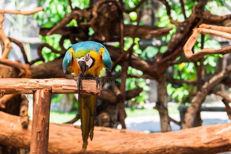 青和黄色金刚鹦鹉,亦称青和金子金刚鹦鹉 免版税库存图片