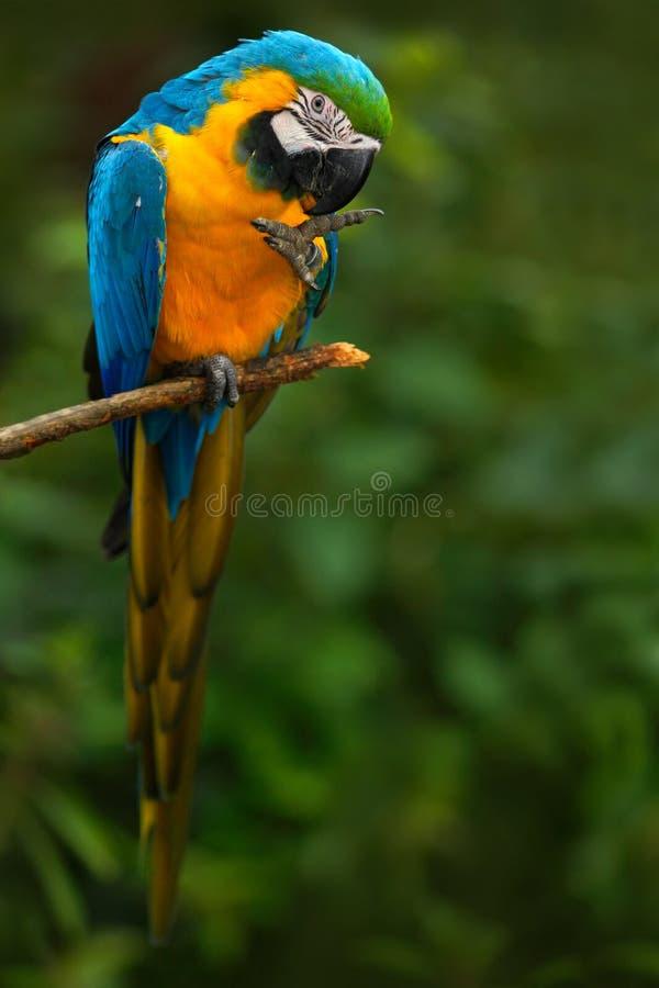 青和黄色金刚鹦鹉, Ara ararauna,亦称青和金子金刚鹦鹉画象,是与蓝色的一只大南美鹦鹉 免版税库存照片