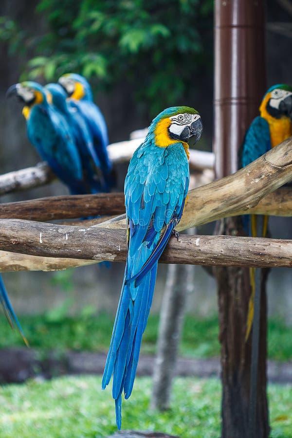青和黄色金刚鹦鹉(Ara ararauna),亦称青和 库存照片