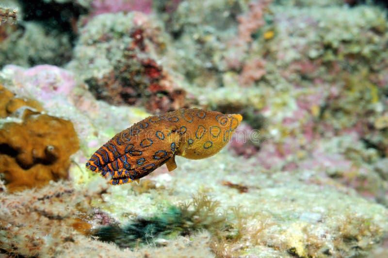 青圈状的章鱼 免版税图库摄影