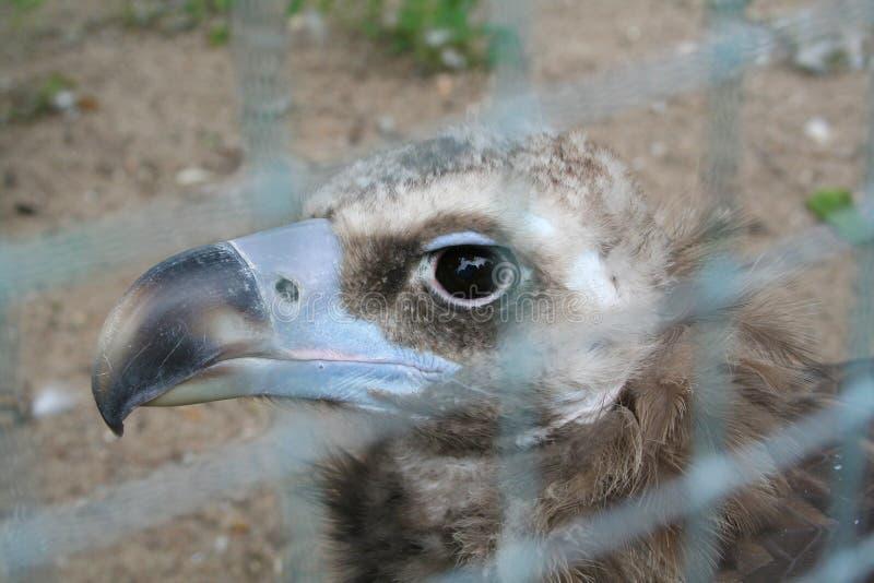 青天秃鹰的头 库存图片