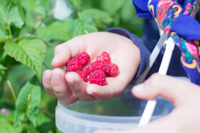 青少年的男孩在庭院里收集莓 免版税库存照片