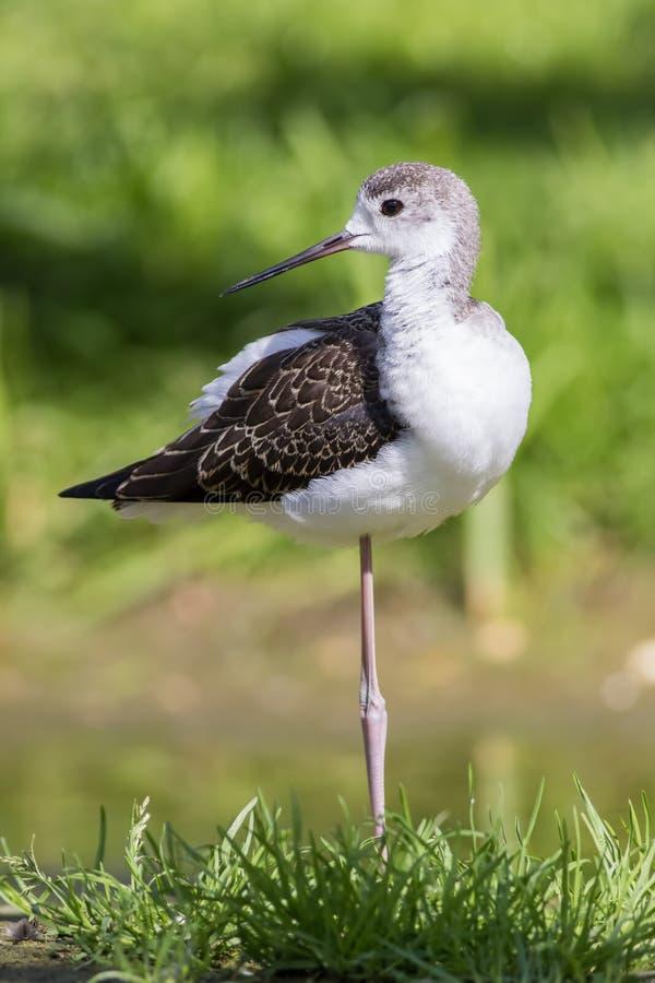 青少年黑飞过的高跷Himantopus himantopus鸟替换者 免版税库存图片
